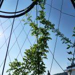 Plants growing on Jakob Webnet Green Wall